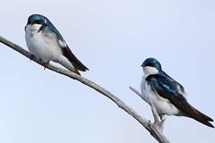 Hirondelle bicolore, Tree Swallow (Serge Rivard) Tags: oiseau treeswallow hirondellebicolore tachycinetabicolor