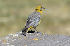 Жёлтый яркобёдрый вьюрок, Sicalis uropigyalis uropigyalis, Bright-rumped Yellow-Finch (Oleg Nomad) Tags: жёлтыйяркобёдрыйвьюрок sicalisuropigyalisuropigyalis brightrumpedyellowfinch птицы боливия bird aves bolivia