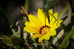 ensoleillée (guy dhotel) Tags: fleur flower jaune yellow