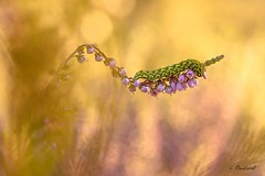 Dans un monde merveilleux (gael611) Tags: chenille caterpillar bokeh nature macro proxy insecte insect bug fleur