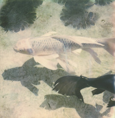 fishes (lawatt) Tags: fish koi lily leaves shadow pool getty villa socal film instant polaroid sx70 roidweek2018
