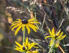 Hold on Daisy. (Omygodtom) Tags: flower flora nikon70300mmvrlens existinglight nature nikkor perspective lowkey d7100 sunshine usgs bloom scene scenic scenery science