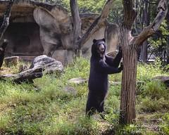 El Frontino (Lex Arias / LeoAr Photography) Tags: 2018 barquisimeto bear extincion iglexariasfotografia leoarphotography lexarias nikon nikond3100 oso osofrontino parquebararida venezuela zoo zoologico