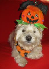 "10/12A ~ ""Riley & his Pumpkin Head"" (ellenc995) Tags: riley westie 12monthsfordogs18 westhighlandwhiteterrier halloween trickortreat pumpkin alittlebeauty coth thesunshinegroup coth5 fantasticnature challengeclub supershot thegalaxy 100commentgroup abigfave sunrays5"