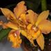 Blc. Waikiki Gold x Slc. George Hauserman – Suzi Sandore