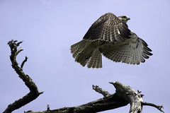 Red tailed Hawk, j. (Kelly Colgan Azar) Tags: buteojamaicensis pinebush albany newyork october juvenile