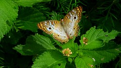 White Peacock Butterfly (Jim Mullhaupt) Tags: butterfly whitepeacockbutterfly insect wildlife nature landscape background wallpaper outdoor bradenton florida manateecounty nikon coolpix p900 jimmullhaupt photo flickr geographic picture pictures camera snapshot photography nikoncoolpixp900 nikonp900 coolpixp900