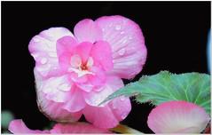 Still resisting # 2 (MaxUndFriedel) Tags: nature garden flower blossom october fall autumn resisting begonia pik