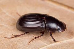 Aphodius rufipes (NakaRB) Tags: 2017 insecta coleoptera scarabaeidae aphodiusrufipes