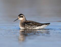 Red-necked Phalarope 32 (óðinshani) (Svenni and his Icelandic birds.) Tags: redneckedphalarope óðinshani phalaropuslobatus