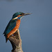 Kingfisher. (Explored). (spw6156 - Over 6,560,030 Views) Tags: kingfisher copyright steve waterhouse explored