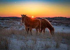 Island Sunset by John Whaley (Maryland DNR) Tags: 2018 photocontest wildlife mammal ponies spring sunset assateague horses