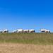 Sheep on Ameland