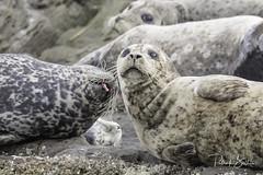 seals-7177 (pmbell64) Tags: capitalg britishcolumbia canada ca