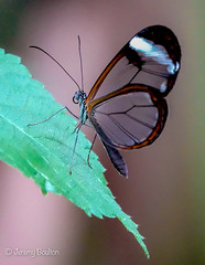 Glasswing (JKmedia) Tags: macro sonyrx10iii butterfly chesterzoo closeup boultonphotography 2018 insect
