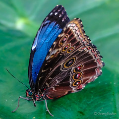 Blue Morpho (JKmedia) Tags: macro sonyrx10iii butterfly chesterzoo closeup boultonphotography 2018 insect