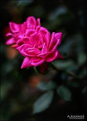 Pink Roses... (angelakanner) Tags: canon70d 50mmlens garden longisland closeup bokeh