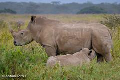 Hembra de Rinoceronte blanco amamantando a su cria (vfr800roja) Tags: africa rinoceronteblanco ceratotheriumsimum kenya rinocerontblanc whiterhinoceros kiaruyamajani nakuru valledelrift kenia ke