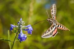 White-lined Sphinx Moth (Bernie Duhamel) Tags: whitelinedsphinxmoth colorado penstemon flowers flower frontrange greatphotographers teamsony rockymountains bernie duhamel bouldercounty boulder sonya9 sonyfe100400mm