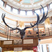 Antlers of the extinct Irish Elk