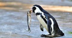 Pinguin (hansjrgenknppel) Tags: brillenpinguin nikon d 850 hansjuergen knueppel germany deutschland
