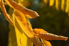 Осенние желтые листья / Autumn yellow leaves (Владимир-61) Tags: осень октябрь природа роща дерево лист листва ветка свет желтый зеленый autumn october nature grove tree leaf foliage branch acacia light yellow green sony ilca68 minolta28135