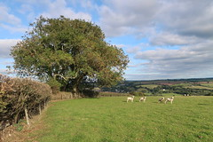 Penknight (leavesandpuddles) Tags: cornwall cornish kernow restormel sheep farming westcountry lostwithiel autumn pastoral tree trees hedges clouds penknight lanlivery southwest vista rural psychogeography