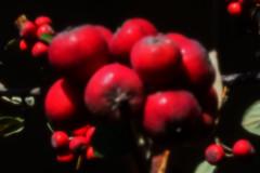 Cotoneaster dielsianus (blasjaz) Tags: blasjaz früchte pflanze plant strauch beeren pinhole skunkpinholepancake botanik