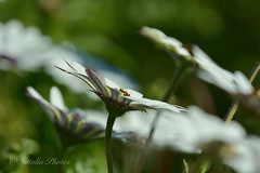 Milky Way (avnz101) Tags: flower nature macro plant fantasticnature coth alittlebeauty coth5
