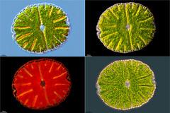 MICRASTERIAS DENTICULATA, ESTRELLAS EN LOS HOYOS DE IREGUA (PROYECTO AGUA** /** WATER PROJECT) Tags: biodiversidadvitual hoyosdeiregua taxonomy:kingdom=plantae taxonomy:class=chlorophyceae taxonomy:order=zygnematales taxonomy:family=desmidiaceae taxonomy:genus=micrasterias taxonomy:binomial=micrasteriasdenticulata taxonomy:species=denticulata desmids désmidos conjugate conjugadas desmidiaceae pondlife microscopy proyectoagua iesescultordaniel antonioguillén larioja sierracebollera villosladadecameros spain micrasterias micrasteriasdenticulata fotografíamicroscópica fotografíasmicroscópicas photomicrography microphotography imágenesmicroscópicas microorganismos vidaoculta lavidaocultadelagua vidaagua thelifehiddenwater