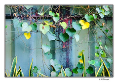 hanging ivy leaves (harrypwt) Tags: harrypwt abuja nigeria maitama garden fuji fujix70 x70 africa afrika borders framed wooden house red nature