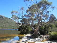 IMG_3822 (shearwater41) Tags: australia tasmania cradlemountain dovelake tree lake beach