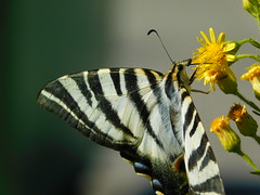 Autumn butterfly (Mariposa) (cami.carvalho) Tags: autumn butterfly mariposa borboleta outono