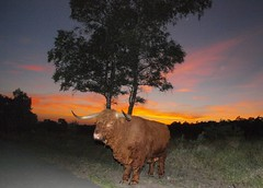 Big bull, Posbank, the Netherlands (bobbykwibus) Tags: bull stier animal dier sunset wildlife posbank veluwe veluwezoom night