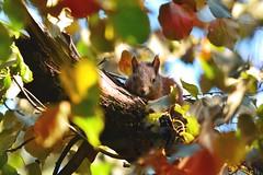 (lucamarasca1) Tags: mothernature sigma 150500 sigma150500 nikond5500 autumn autunno scoiattolo altoadige squirrel wildlife nature