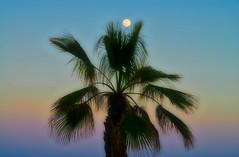 Bajo la luz de la luna yo te amé - I love you undermeath the moonlight (Cembe Héctor) Tags: palmera tuna moon color cádiz palm tree blue sky azul palmier lune palma blu céu palmeira