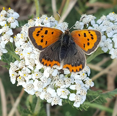 Small Copper Butterfly (Lycaena phlaeas) (8) (alisondickens1) Tags: smallcopperbutterfly lycaenaphlaeas