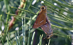Inside the pine tree... (tune505) Tags: 팔랑나비 skipper mating wildlife