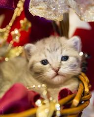 20171203_0537c (Fantasyfan.) Tags: kuunkissan kitten european breed cat fantasyfanin