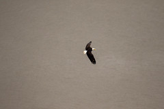 7K8A8036 (rpealit) Tags: scenery wildlife nature state line lookout bald eagle bird