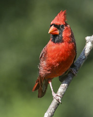 Male Cardinal (Yer Photo Xpression) Tags: ronmayhew canoneos70d northerncardinal male red bird