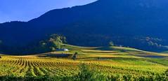 Vignoble d'Yvorne (Diegojack) Tags: vaud suisse yvorne aigles d500 nikon nikonpassion vignes vignobles or automne