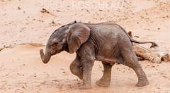 The purposeful stride (Denis Roschlau Photography) Tags: africa afrika elefant elephantidae loxodonta namibia natur republicofnamibia republiknamibia säugetiere african africanelephant afrikanisch afrikanischerelefant animals elephant elfenbein ivory mammal mammals nature rüssel southernafrica stoszahn stoszähnetrunk säugetier südlichesafrika tier tusk tusks wildanimals wildetiere wildestier wildlife wildtier cute tiny baby newborn calf young desert sand wüstenelefant desertelephant desertadapted jungtier walking gehend huab riverbed kunene male