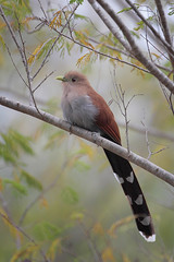 Squirrel Cuckoo (Greg Lavaty Photography) Tags: squirrelcuckoo piayacayana mexico october tamaulipas elcielo biosphere birdphotography outdoors bird nature wildlife