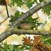 Palm Warbler - Richmond, BC