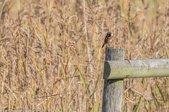 9Q6A5423 (2) (Alinbidford) Tags: alancurtis brandonmarsh nature stonechat wildbirds wildlife