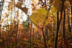 Fall, Leaves, Fall (Stefano Rugolo) Tags: stefanorugolo pentax k5 kepcorautowideanglemc28mm128 fallleavesfall fall autumn leaves ricoh abstract blur impression forest trees wood foliage bokeh emilybrontë