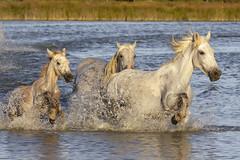 Jument et son poulain (Xtian du Gard) Tags: xtiandugard jument poulain camargue provence france eau waterscape galop course chevauchée cavalcade éclaboussures chevaux
