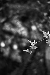 Jazmine and lillies (RoryO'Bryen) Tags: jasmine lilies roryobryen copyrightroryobryen rangefinder leicamp leicasummiluxm50f14asph film trix kodaktrix pushedtothemax blackandwhite noiretblanc