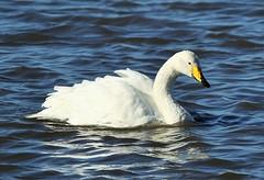 Whooper Swan (merseymouse) Tags: whooperswan swans birds